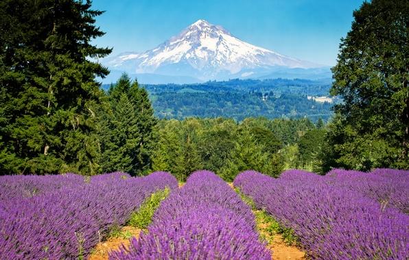 Picture field, trees, mountain, Oregon, Portland, Oregon, Portland, lavender, Mount Hood