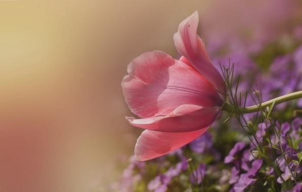 Photo wallpaper background, Tulip, petals, Pansy, bokeh