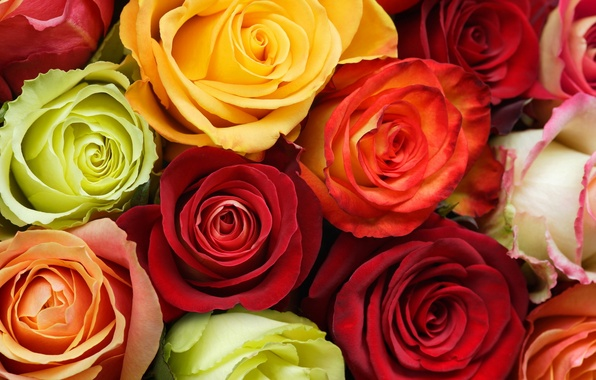 Picture white, flowers, orange, yellow, red, green, roses, buds, colors
