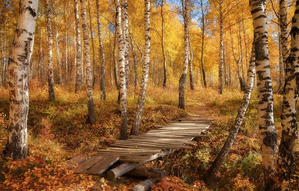 Picture autumn, forest, leaves, bridge, nature, photo, birch