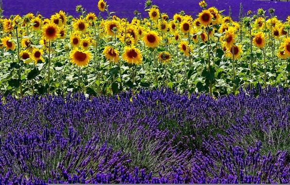 Picture field, summer, sunflower, lavender