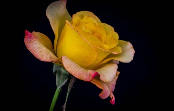 Picture water, drops, macro, Rosa, rose, petals, Bud