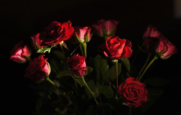 Picture light, roses, bouquet, petals, Bud