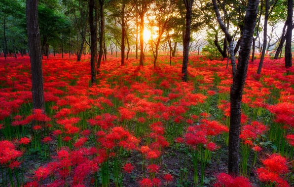 Picture forest, the sun, trees, sunset, flowers, nature, Park, forest, trees, nature, sunset, park, flowers, sun, …