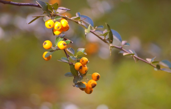 Picture leaves, background, branch, yellow, fruit