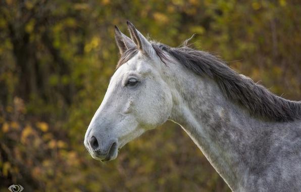 Picture face, grey, horse, horse, mane, profile, (с) Oliver Seitz