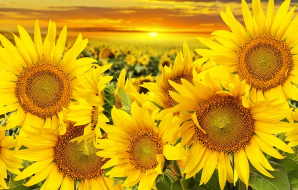 Wallpaper field, sunflowers, sunset, beauty