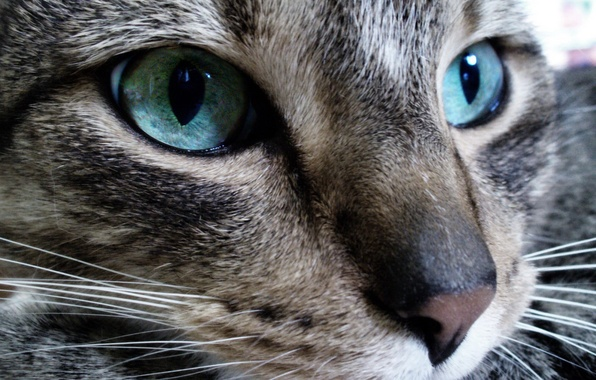 Picture eyes, look, Cat