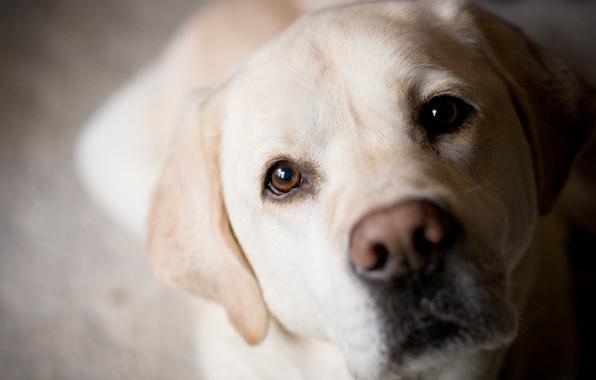 Picture eyes, dog, nose, muzzle, Labrador, Golden, Retriever