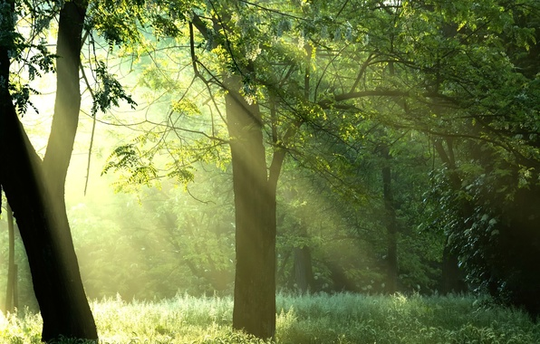Picture forest, the sun, rays, trees, nature, sunshine, forest, Green trees