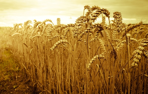 Picture wheat, field, the sky, the sun, macro, nature, background, widescreen, Wallpaper, rye, spikelets, beautiful, wallpaper, …