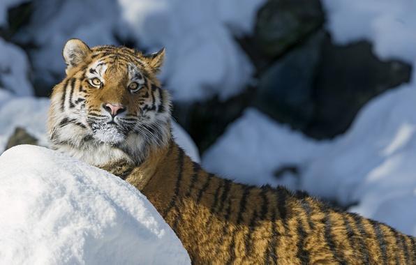 Picture winter, cat, look, face, snow, tiger, the Amur tiger, ©Tambako The Jaguar