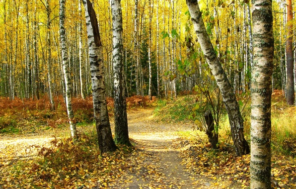 Picture autumn, forest, leaves, trees, nature, photo, trail, birch