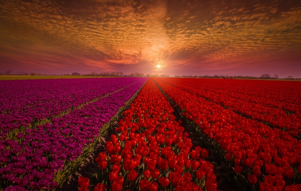 Picture field, the sky, sunset, flowers, nature, tulips, red, buds, Holland