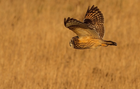 Picture flight, background, owl, bird, wings