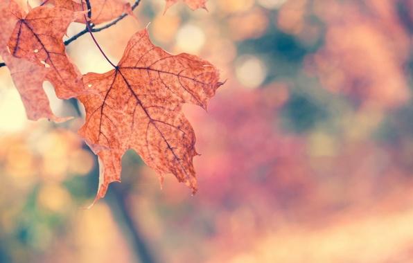 Picture autumn, macro, nature, tree, branch, Leaves, orange, maple, bokeh