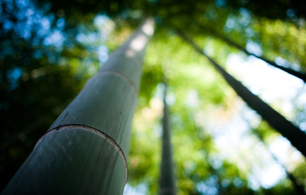 Picture nature, tree, focus, bamboo, trunk, bamboo