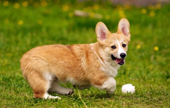 Picture dog, Dog, Welsh Corgi