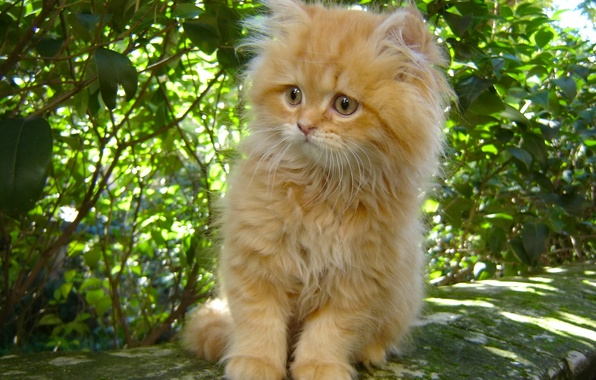 Picture fluffy, red, kitty, ginger kitten