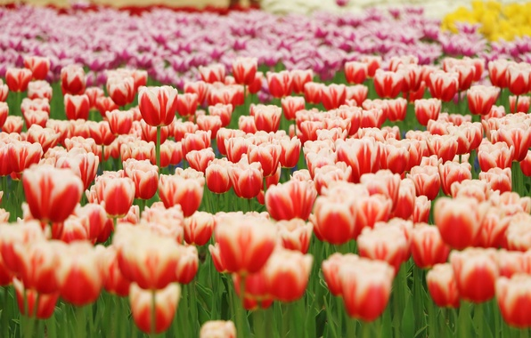 Picture flowers, yellow, petals, blur, tulips, red, Park, orange