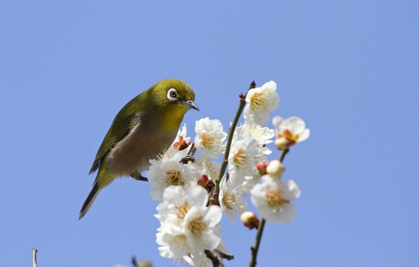 Picture the sky, flowers, branches, bird, spring, petals, Sakura, flowering