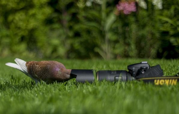 Picture background, dove, the camera, Nikon, camera
