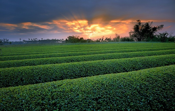 Picture greens, field, trees, sunset, nature, the bushes, the ranks