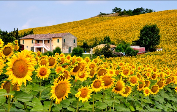 Picture field, the sky, flowers, house, hills, sunflower, Italy