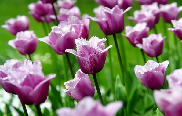 Picture flower, macro, flowers, nature, Tulip, spring, petals, tulips, buds