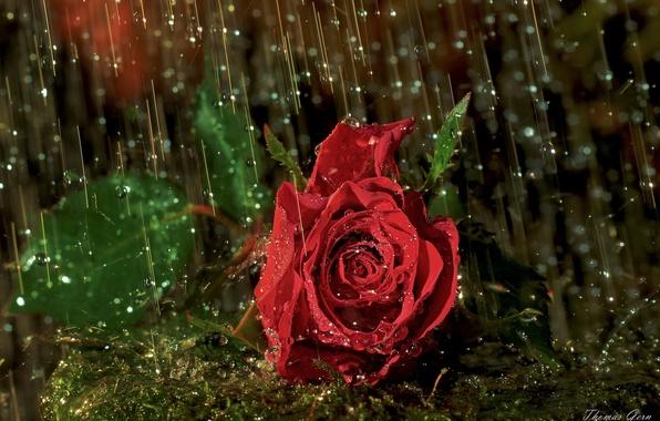 Picture drops, macro, rain, rose, Bud