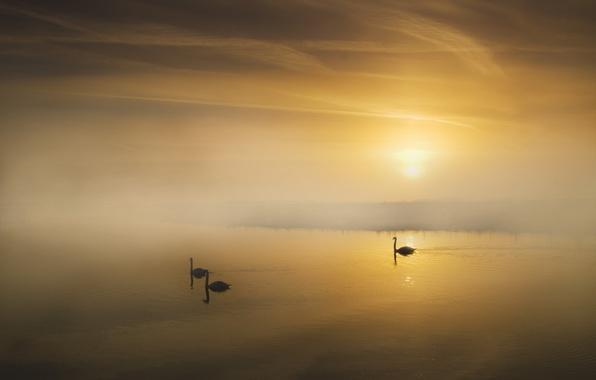 Picture landscape, fog, lake, morning, swans