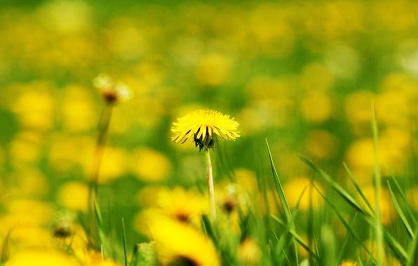 Picture field, flower, flowers, yellow, background, dandelion, widescreen, Wallpaper, blur, wallpaper, widescreen, background, bokeh, full screen, …