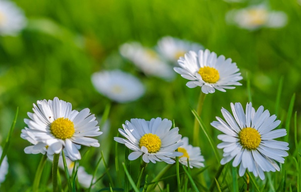 Picture field, grass, chamomile, petals, meadow