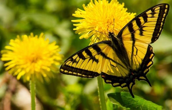 Picture macro, flowers, butterfly, dandelions, Papilio Glaucus