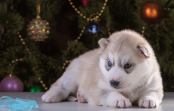Picture new year, puppy, husky, breed