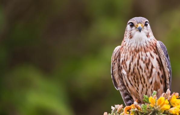 Picture look, Bird, bird, Merlin, merlin