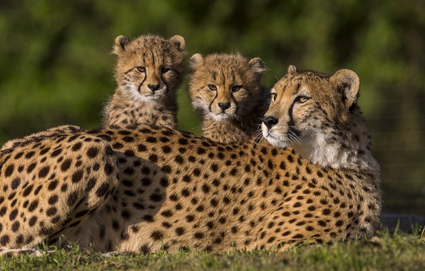 Picture kittens, cheetahs, cubs