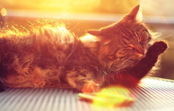 Picture cat, cat, face, the sun, rays, cats, background, widescreen, Wallpaper, paw, wool, wallpaper, widescreen, background, …