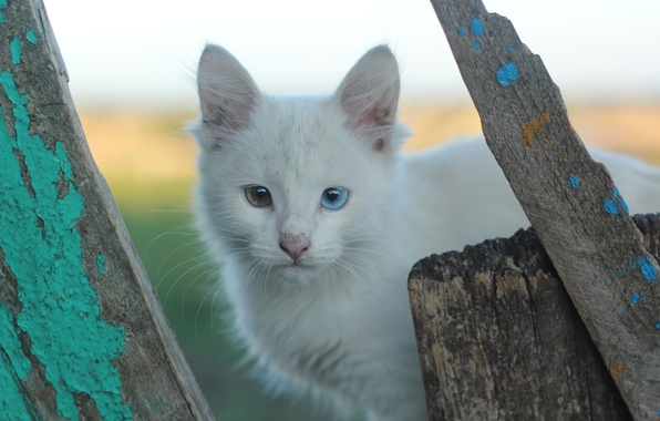 Picture heterochromia, different eye color, white cats