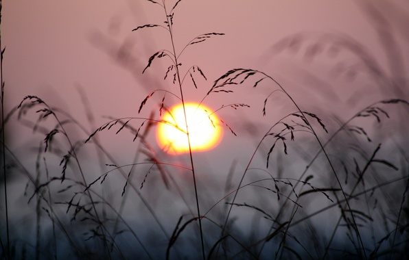 Picture grass, the sun, sunset, nature, the wind, plants