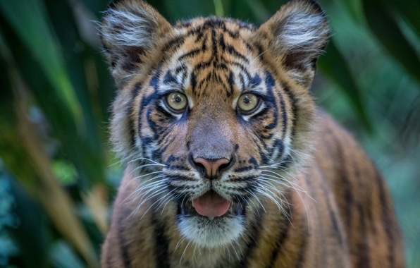 Picture look, face, tiger, tiger