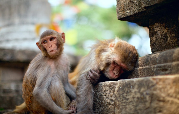 Picture macaques, two, stage, temple, young, old