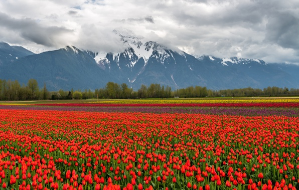 Picture field, clouds, snow, landscape, flowers, mountains, nature, tulips