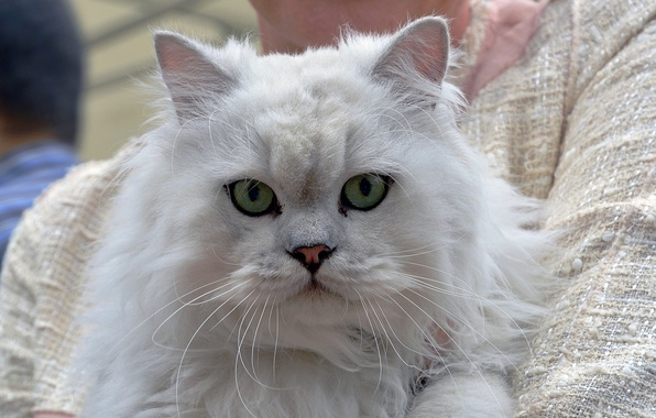 Picture cat, cat, look, face, fluffy