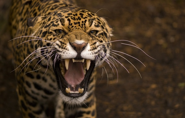 Picture mustache, macro, predator, blur, mouth, grin, Jaguar, wild cat