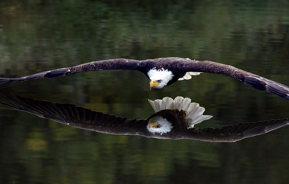 Picture reflection, bird, eagle