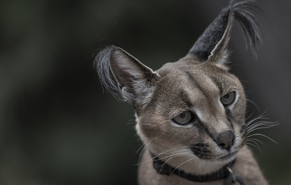 Picture look, face, portrait, ears, wild cat, Caracal