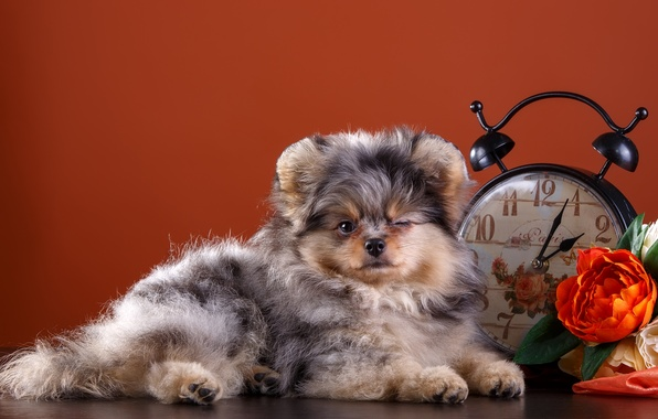 Picture flowers, watch, cute, puppy, Spitz, blink