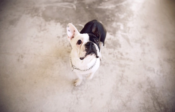 Picture look, background, dog, French bulldog