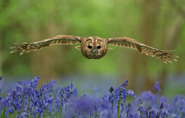 Picture forest, look, flowers, bird, glade, wings, Owl, blur, flight, bells, blue, stroke
